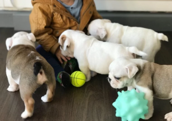 English BullDogs 8