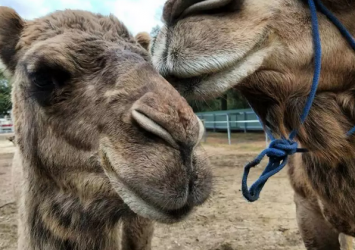 Camels for sale whatsapp +27734531381 27