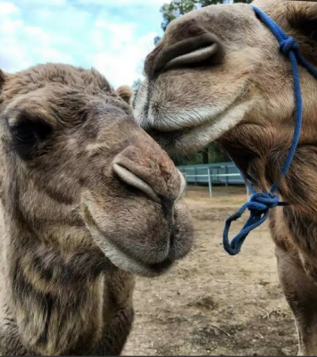 Camels for sale whatsapp +27734531381 2