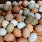 Best Quality Organic Fresh Chicken Table Eggs & Fertilized Hatching Eggs whatsapp +27734531381 4