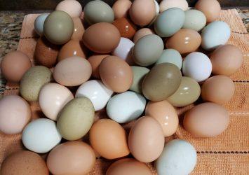 Best Quality Organic Fresh Chicken Table Eggs & Fertilized Hatching Eggs whatsapp +27734531381 9