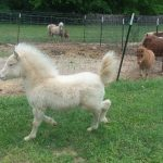 Several miniature horses and other breeds for sale whatsapp +27734531381 5