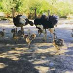Ostrich chicks & ostrich fertile eggs for sale whatsapp +27734531381 3