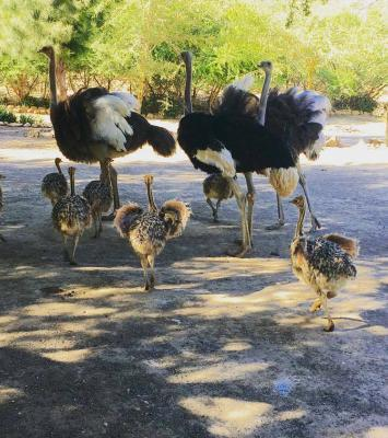 Ostrich chicks & ostrich fertile eggs for sale whatsapp +27734531381 10