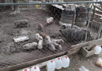 Full grown pig and young piglets available for sale whatsapp +27734531381 11