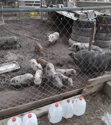 Full grown pig and young piglets available for sale whatsapp +27734531381 8