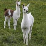 Young, adult & pregnant llamas For Sale whatsapp +27734531381 3
