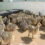 Ostrich for sale at affordable prices 4months 3