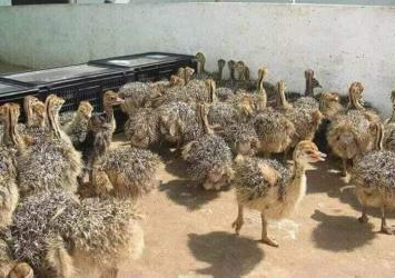 Ostrich for sale at affordable prices 4months 2