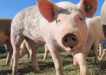 Yekkris Farm -  Pigs for Sale in Nigeria - 500 to 600 Naira per Kilo 12