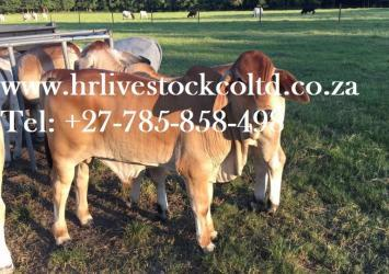 Buy Cattle Brahman, Bonsmara, Cows, bulls and calves, goats, sheep, Chicken and eggs available 10