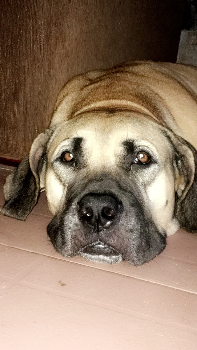 Diego, a purebred boerboel needs a new home - NairaOutlet