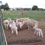Merino sheep for sale whatsapp +27631521991 5