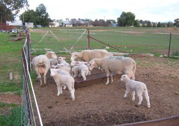 Merino sheep for sale whatsapp +27631521991 26