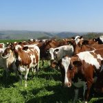 Ayrshire Herd for sale whatsapp +27631521991 2