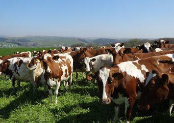 Ayrshire Herd for sale whatsapp +27631521991 20