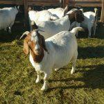 Boer goats for sale whatsapp +27631521991 1