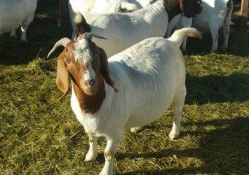 Boer goats for sale whatsapp +27631521991 22
