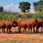 Bonsmara cow for sale whatsapp +27631521991 2
