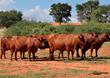 Bonsmara cow for sale whatsapp +27631521991 19