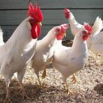 Leghorn chickens for sale whatsapp +27631521991 4