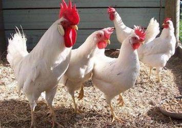 Leghorn chickens for sale whatsapp +27631521991 7