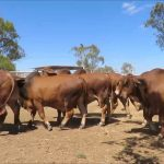 Red Brahman cattle for sale whatsapp +27631521991 5